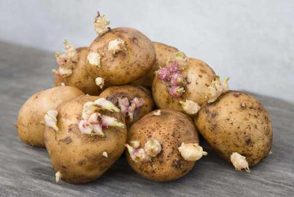 Сорт картофеля реванш характеристика - общая информация - 2020