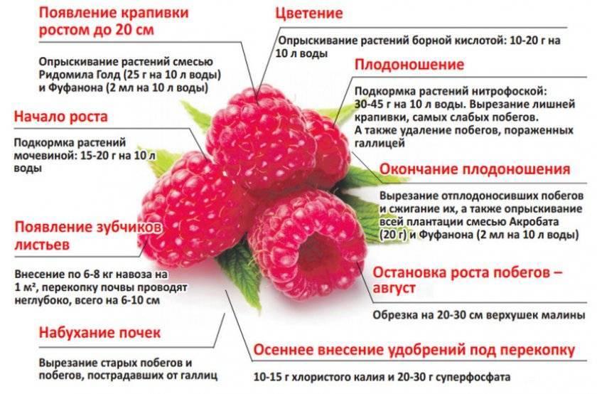 Особенности малины сорта пшехиба