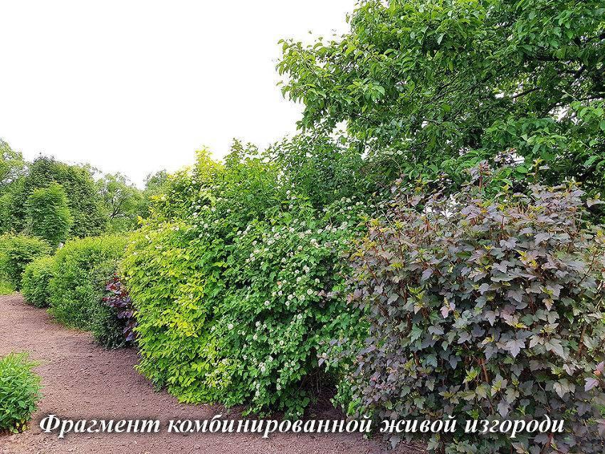 Жимолость: посадка и уход. первая ягода лета