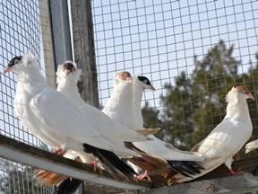 Статные голуби — википедия. что такое статные голуби