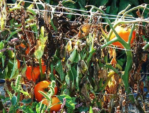 Вредители помидоров в открытом грунте и борьба с ними