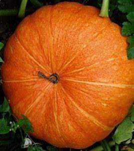 """Тыква """"улыбка"""": характеристика сорта, выращивание и уход"""