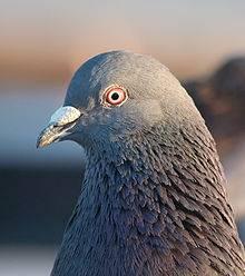 Где и сколько живут голуби и воробьи