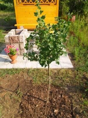 Как вырастить штамбовый крыжовник. крыжовник на штамбе – популярные сорта и правила выращивания