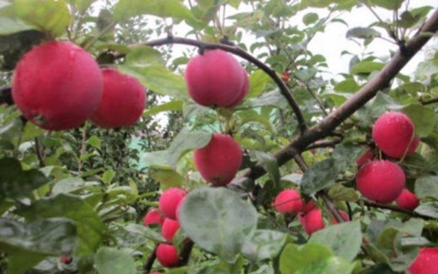Осенняя яблоня жигулевское