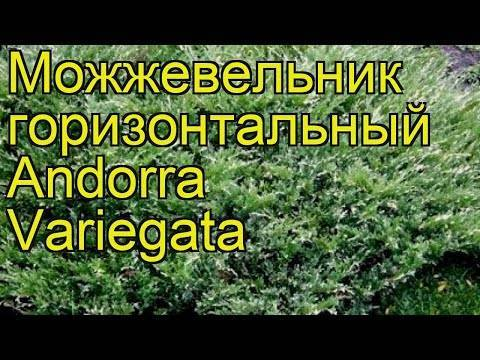 Можжевельник горизонтальный  андорра вариегата. вид можжевельник горизонтальный