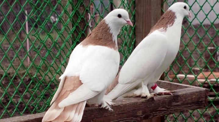 Бакинские голуби — летные рекордсмены нашей страны!