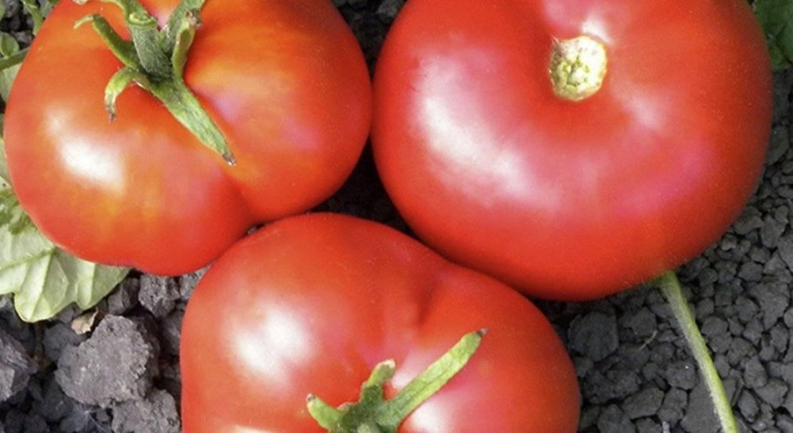 Как сажать и выращивать помидоры «москвич» («москвичка») — описание сорта и советы огородникам