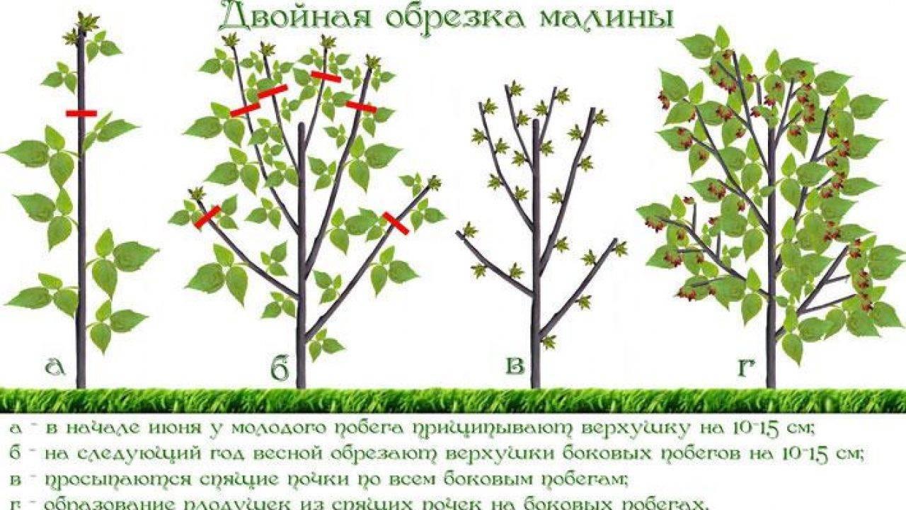 Как обрезать вейгелу: весной, летом, после цветения, схемы, сроки