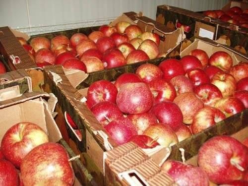 Как сохранить яблоки свежими на зиму: в погребе, в домашних условиях