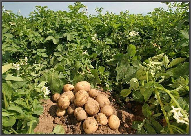 Когда копать картофель на хранение, чтобы сохранить ее на всю зиму. точные рекомендации.