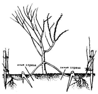 Как правильно размножить грушу зелеными черенками и другими методами летом и весной