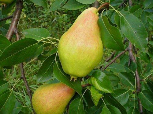 Характеристика и агротехника выращивания груши сорта рогнеда