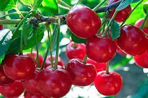Вишня россошанская чёрная: описание сорта и его характеристики, фото и особенности выращивания