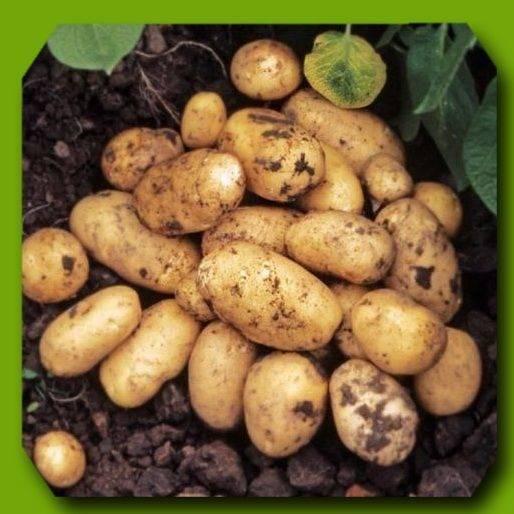 Ранние сорта картофеля: полный список