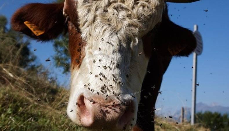 Чем нужно обрабатывать корову от клещей?