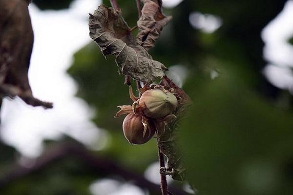 Всё о лечении грецкого ореха: почему он плохо растет и как предотвратить повторное заболевание?