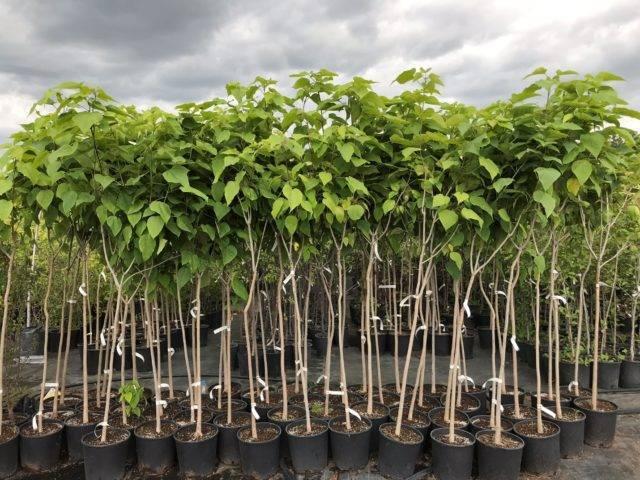 Катальпа дерево посадка и уход в открытом грунте размножение