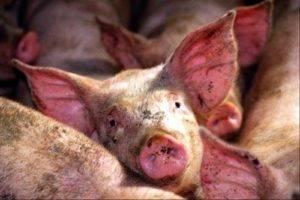 Болезнь ауески у свиней: описание болезни и её лечение