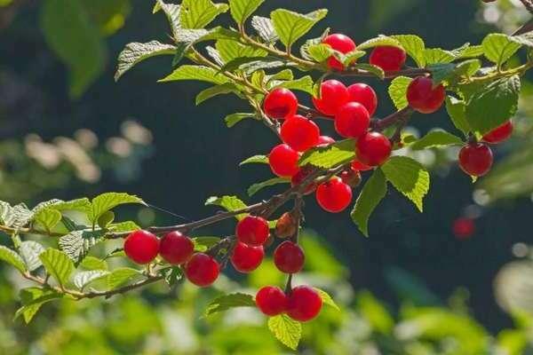 Вишня войлочная лето — описание сорта, фото, отзывы садоводов