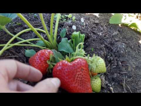 Клубника ароза — описание сорта, фото и отзывы садоводов