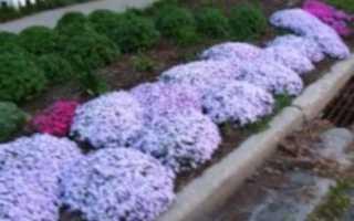 Флоксы уход осенью после цветения | красивый дом и сад