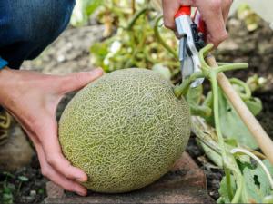Самые лучшие сорта дынь: их особенности и выращивание