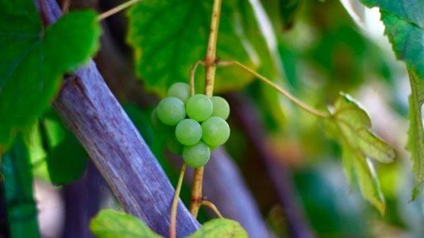 Как пересадить виноград на другое место осенью без ущерба для растения