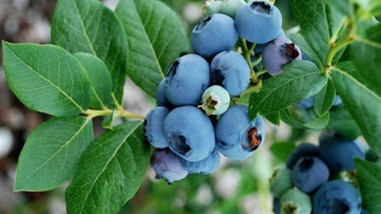 Что делать, если черешня хорошо цветет, но не плодоносит?