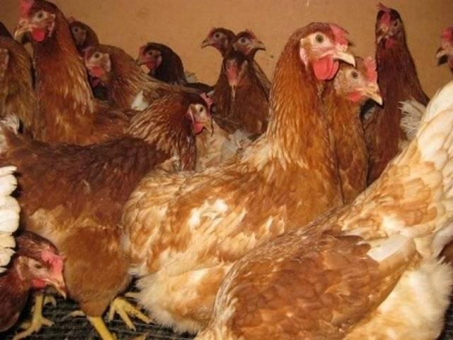 Красная кубанская порода кур