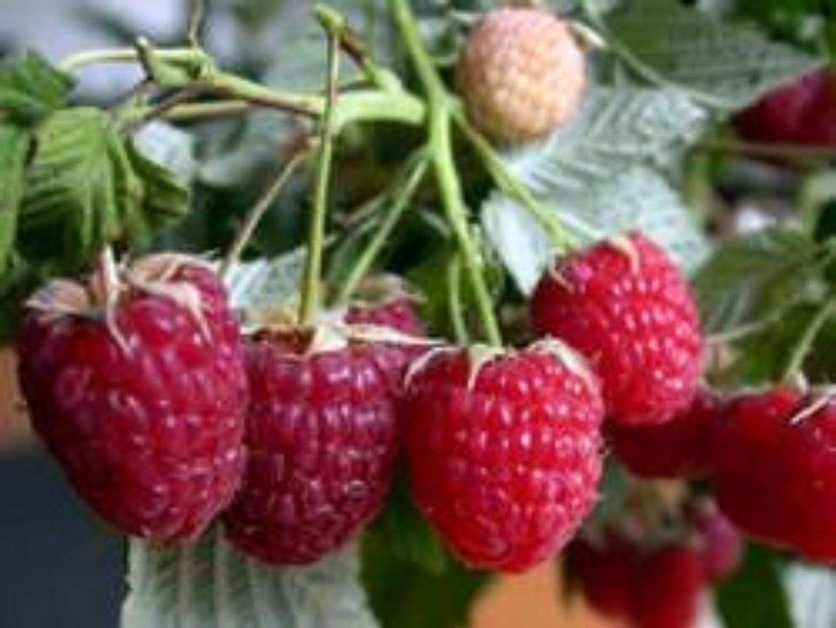 Ремонтантная крупноплодная малина евразия: урожайность и сроки созревания