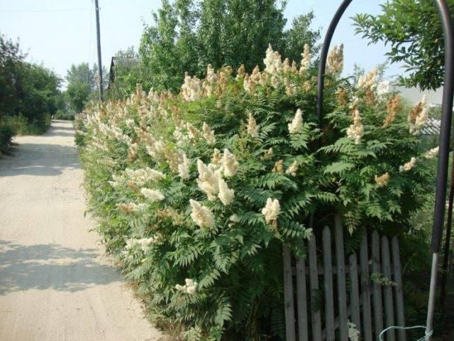 Рябинник рябинолистный, правильная посадка в грунт и уход за растением, организация ландшафтного дизайна