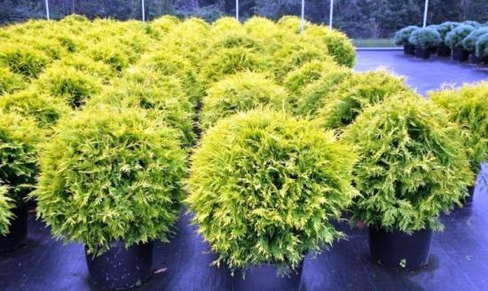 О туе хозери западная: описание сорта, как посадить и ухаживать за растением