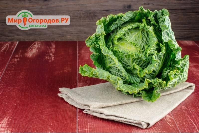 Савойская капуста: польза и вред, рецепты приготовления