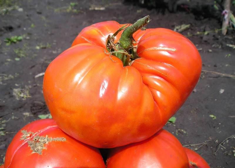 Описание крупноплодного сорта томатов гигант лимонный и правила выращивания