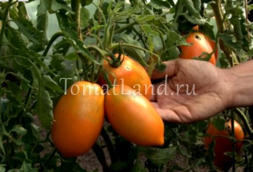 Томат Олеся: отзывы, фото, урожайность, характеристика