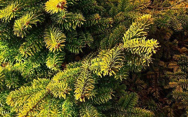 Виды и сорта сосен (53 фото): корабельные и карельские, желтые и стелющиеся, остистые и другие разновидности сосен