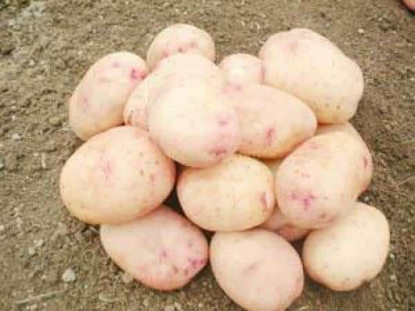 Картофель аврора: характеристики сорта, отзывы, вкусовые качества