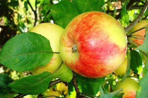 Особенности посадки и ухода за яблоней россошанская