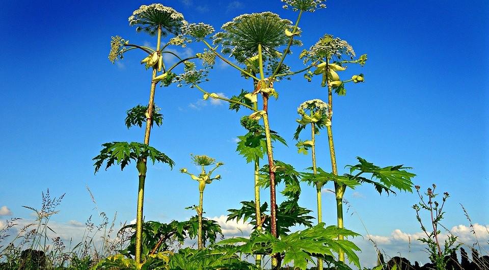 Описание лучших гербицидов от борщевика и правила обработки препаратами