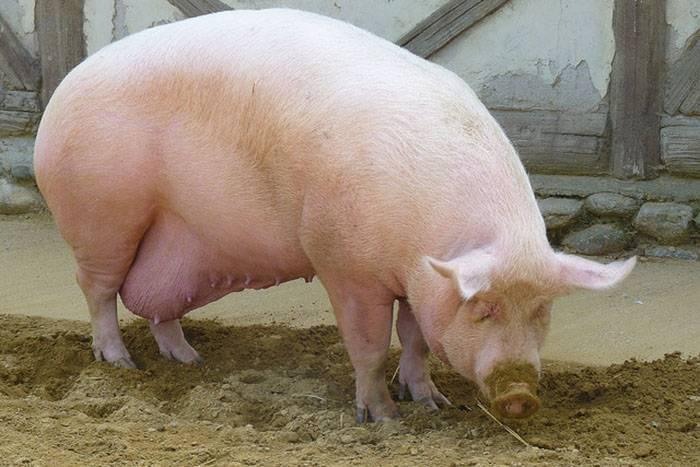 Супоросная свиноматка: методы диагностики беременности