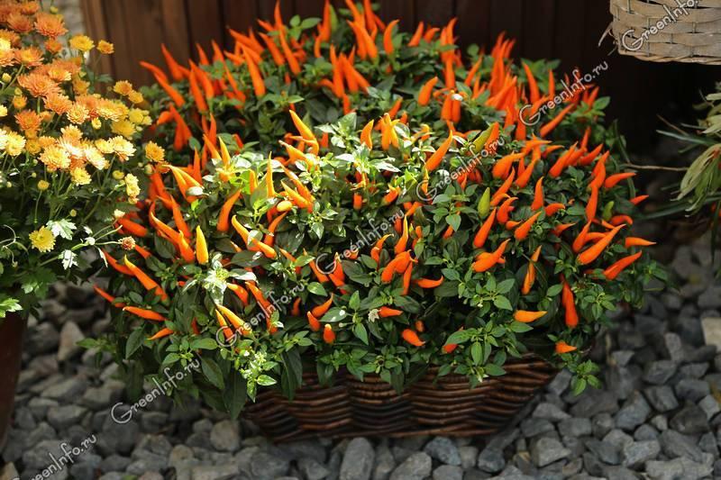 Перец цицак: выращивание и вкусовые качества сорта