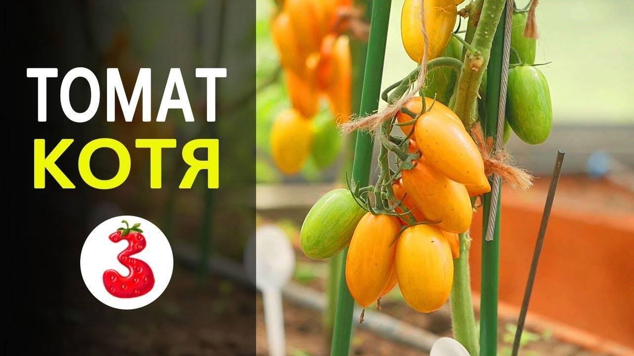 Покорившая многих огородников новинка — томат катя f1: характеристика и описание сорта