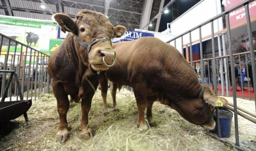 Бонитировка крупного рогатого скота: принципы и особенности проведения