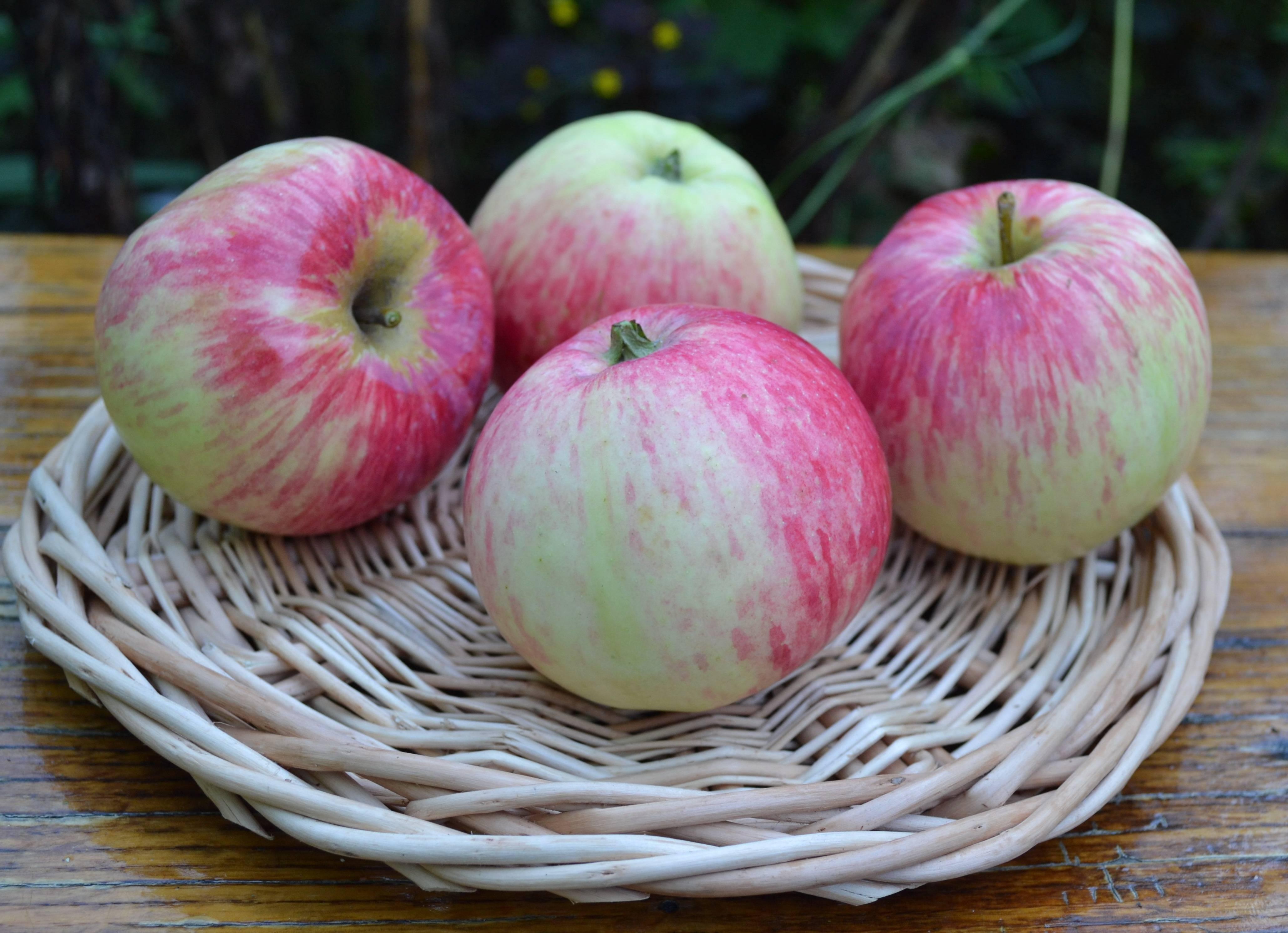 Яблоня башкирская красавица описание сорта фото отзывы