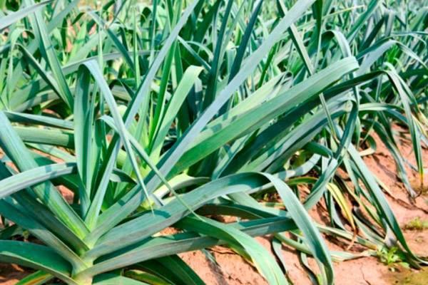 Лук-порей сорта карантанский. особенности выращивания, описание и отзывы