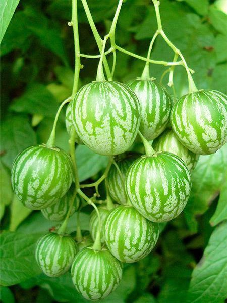 Описание томата арбузный и выращивание сорта из семян