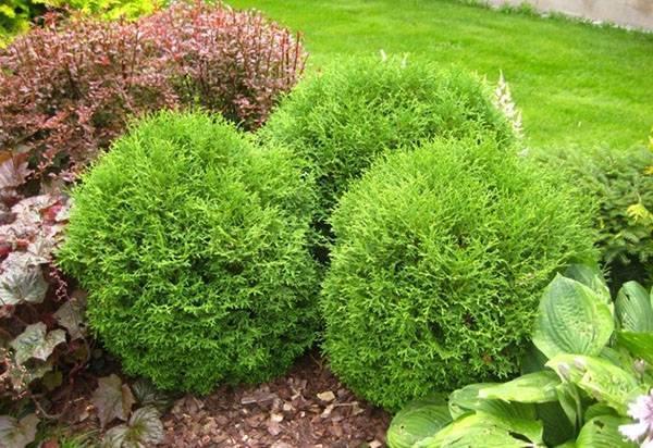 Голден смарагд: вид туи западной, посадка, уход и выращивание в саду