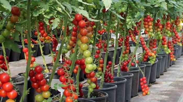 Лучшие помидоры для теплицы из поликарбоната сорта: семена томатов и ранние гибриды, какие из низкорослых сажать