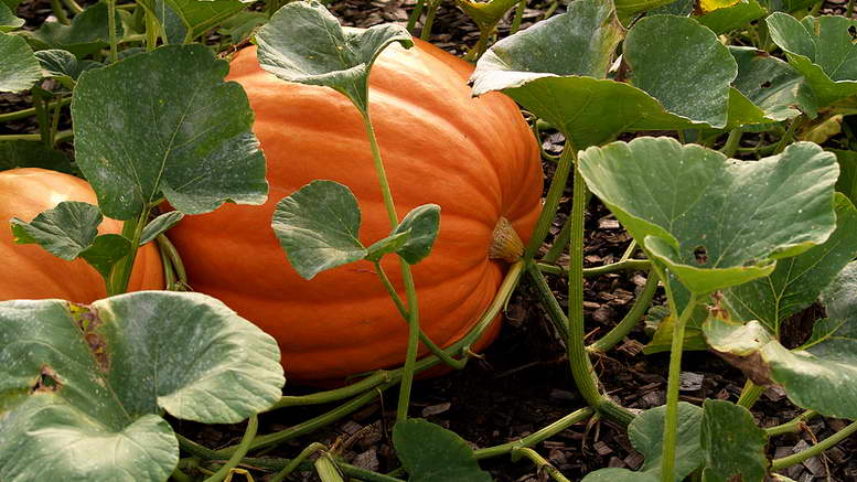 Как сажать тыкву в открытый грунт семенами